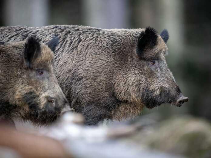 855wildschwein
